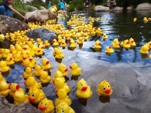 duck race ducks